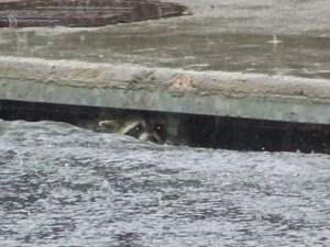 A racoon takes shelter in a storm drain at 120th & Colorado Blvd.  Image courtesy 9News.com.